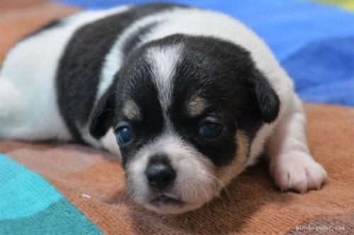 チワワ(スムース)の子犬(ID:1275711036)の1枚目の写真/更新日:2020-11-20