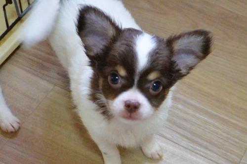 チワワ(ロング)の子犬(ID:1275711037)の1枚目の写真/更新日:2020-12-23