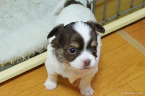 チワワ(ロング)の子犬(ID:1275711037)の3枚目の写真/更新日:2020-12-23