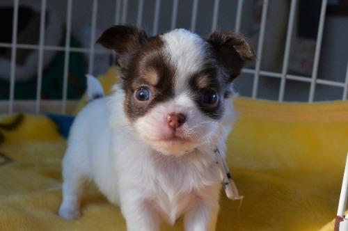 チワワ(ロング)の子犬(ID:1275711038)の2枚目の写真/更新日:2020-12-23