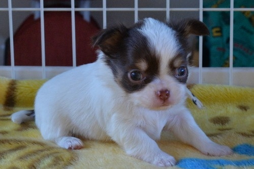 チワワ(ロング)の子犬(ID:1275711038)の4枚目の写真/更新日:2020-12-23