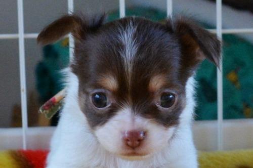 チワワ(ロング)の子犬(ID:1275711039)の1枚目の写真/更新日:2020-12-23