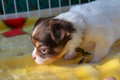 チワワ(ロング)の子犬(ID:1275711039)の4枚目の写真/更新日:2020-12-23