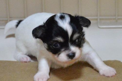 チワワ(ロング)の子犬(ID:1275711040)の2枚目の写真/更新日:2021-05-21