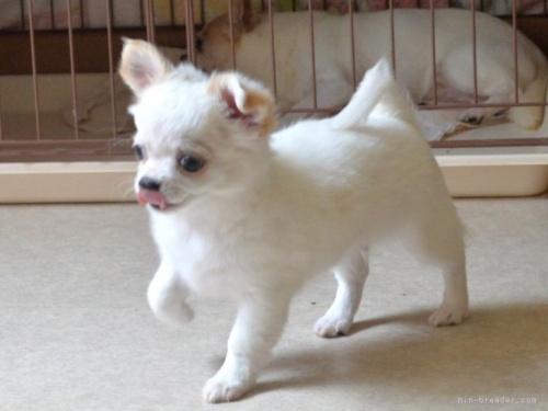チワワ(スムース)の子犬(ID:1275711044)の4枚目の写真/更新日:2021-07-15