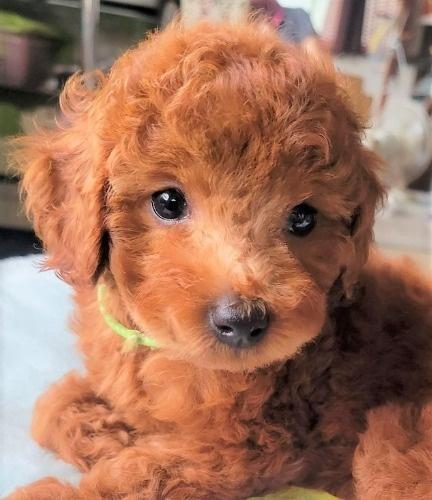 トイプードルの子犬(ID:1275811018)の1枚目の写真/更新日:2021-09-20