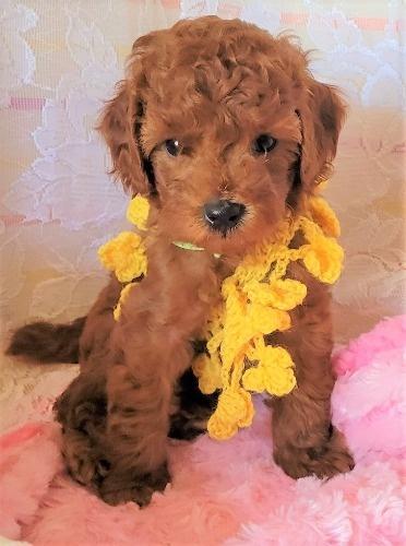 トイプードルの子犬(ID:1275811018)の4枚目の写真/更新日:2021-09-20