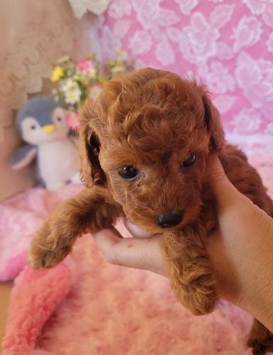 トイプードルの子犬(ID:1275811019)の1枚目の写真/更新日:2021-10-05