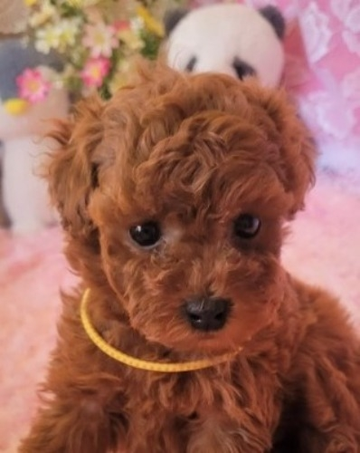 トイプードルの子犬(ID:1275811019)の3枚目の写真/更新日:2021-10-05
