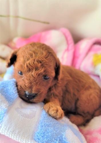 トイプードルの子犬(ID:1275811020)の1枚目の写真/更新日:2021-09-20