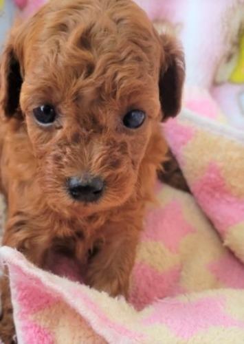 トイプードルの子犬(ID:1275811021)の1枚目の写真/更新日:2021-09-27