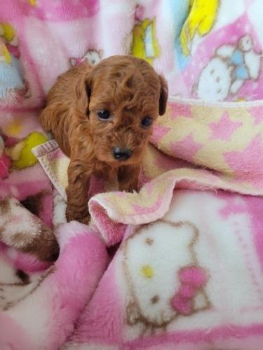 トイプードルの子犬(ID:1275811021)の2枚目の写真/更新日:2021-09-27