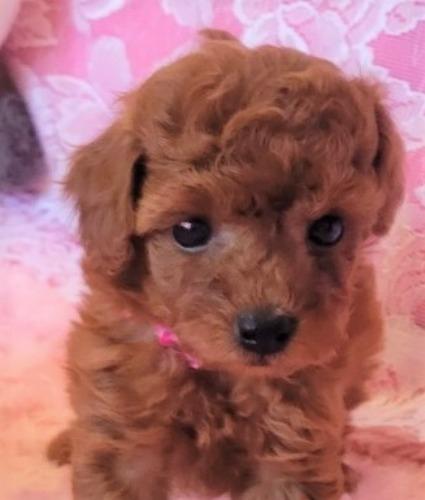 トイプードルの子犬(ID:1275811021)の4枚目の写真/更新日:2021-10-05