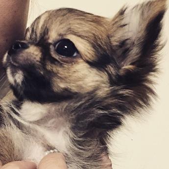 チワワ(ロング)の子犬(ID:1276011001)の1枚目の写真/更新日:2019-02-24