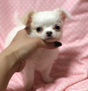 チワワ(ロング)の子犬(ID:1276011002)の1枚目の写真/更新日:2019-02-24