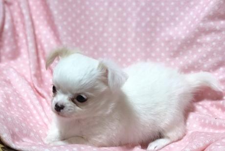 チワワ(ロング)の子犬(ID:1276011002)の2枚目の写真/更新日:2019-02-24