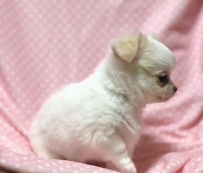 チワワ(ロング)の子犬(ID:1276011002)の3枚目の写真/更新日:2019-02-24