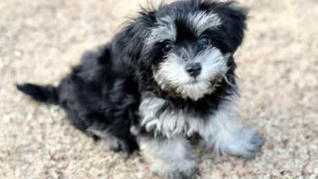 ハバニーズの子犬(ID:1276111003)の1枚目の写真/更新日:2019-07-19