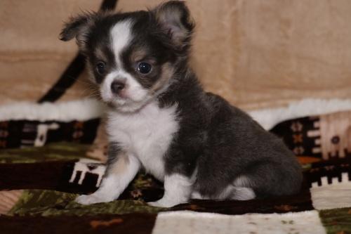 チワワ(ロング)の子犬(ID:1276111005)の1枚目の写真/更新日:2019-03-25