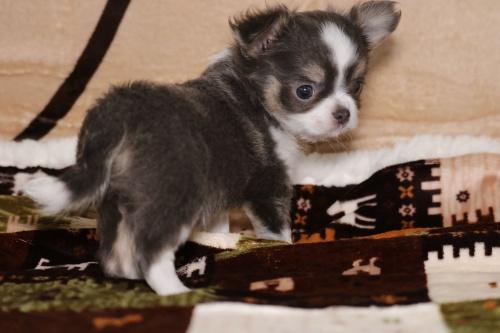 チワワ(ロング)の子犬(ID:1276111005)の2枚目の写真/更新日:2019-03-25