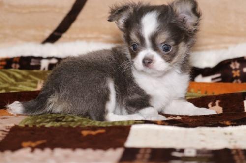 チワワ(ロング)の子犬(ID:1276111005)の3枚目の写真/更新日:2019-03-25