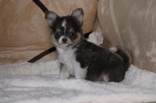 チワワ(ロング)の子犬(ID:1276111006)の2枚目の写真/更新日:2019-03-25