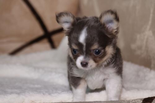 チワワ(ロング)の子犬(ID:1276111006)の3枚目の写真/更新日:2019-03-25