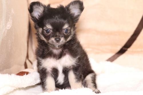 チワワ(ロング)の子犬(ID:1276111007)の1枚目の写真/更新日:2019-03-25