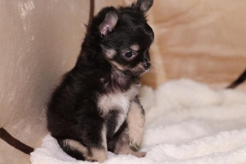 チワワ(ロング)の子犬(ID:1276111007)の2枚目の写真/更新日:2019-03-25