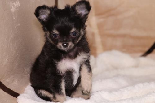 チワワ(ロング)の子犬(ID:1276111007)の3枚目の写真/更新日:2019-03-25