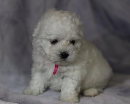 ボロニーズの子犬(ID:1276111011)の2枚目の写真/更新日:2021-04-23