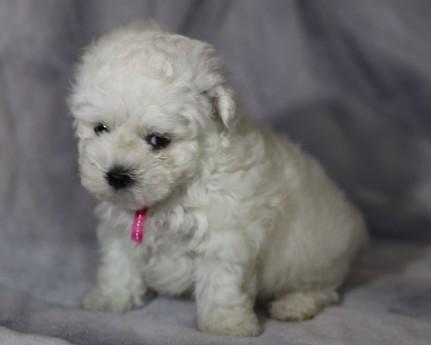 ボロニーズの子犬(ID:1276111011)の3枚目の写真/更新日:2021-04-23
