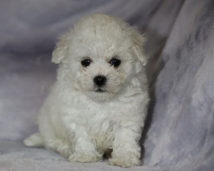 ボロニーズの子犬(ID:1276111012)の1枚目の写真/更新日:2021-04-23