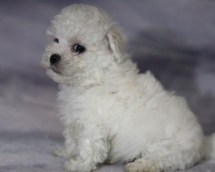 ボロニーズの子犬(ID:1276111012)の2枚目の写真/更新日:2021-04-23