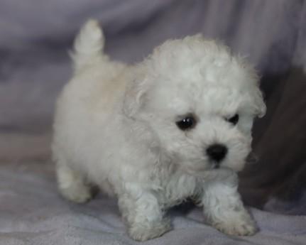 ボロニーズの子犬(ID:1276111012)の3枚目の写真/更新日:2021-04-23