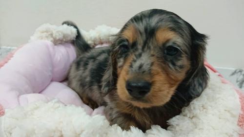 ミニチュアダックスフンド(ロング)の子犬(ID:1276311001)の1枚目の写真/更新日:2019-03-29