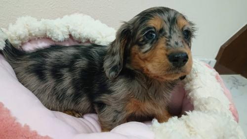 ミニチュアダックスフンド(ロング)の子犬(ID:1276311001)の2枚目の写真/更新日:2019-03-29