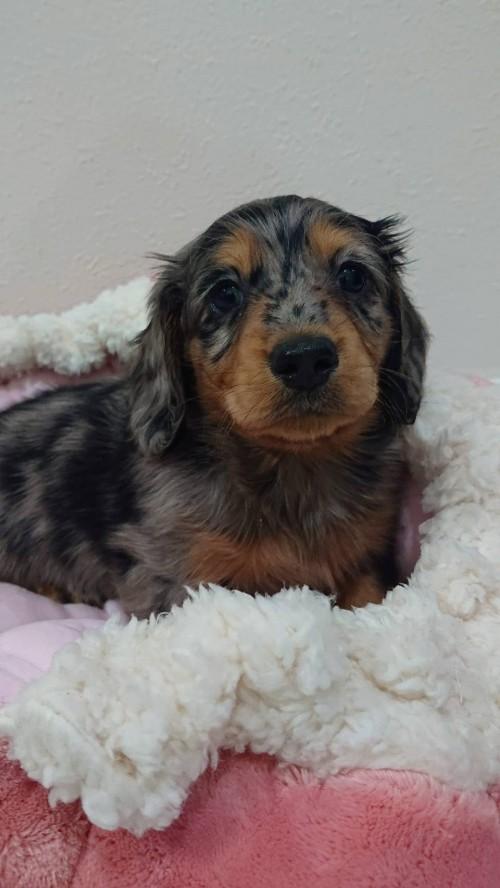 ミニチュアダックスフンド(ロング)の子犬(ID:1276311001)の3枚目の写真/更新日:2019-03-29