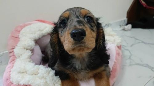 ミニチュアダックスフンド(ロング)の子犬(ID:1276311002)の1枚目の写真/更新日:2019-03-29