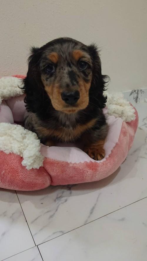 ミニチュアダックスフンド(ロング)の子犬(ID:1276311002)の2枚目の写真/更新日:2019-03-29