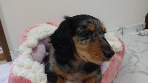 ミニチュアダックスフンド(ロング)の子犬(ID:1276311002)の3枚目の写真/更新日:2019-03-29