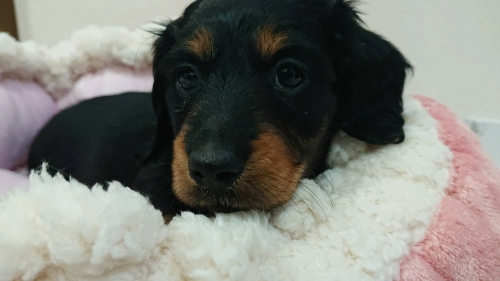 ミニチュアダックスフンド(ロング)の子犬(ID:1276311003)の1枚目の写真/更新日:2019-03-29