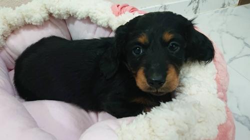 ミニチュアダックスフンド(ロング)の子犬(ID:1276311003)の2枚目の写真/更新日:2019-03-29