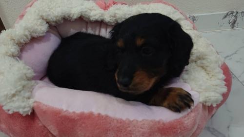 ミニチュアダックスフンド(ロング)の子犬(ID:1276311003)の3枚目の写真/更新日:2019-03-29