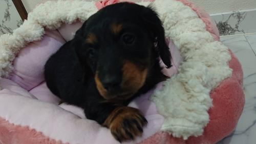 ミニチュアダックスフンド(ロング)の子犬(ID:1276311003)の4枚目の写真/更新日:2019-03-29