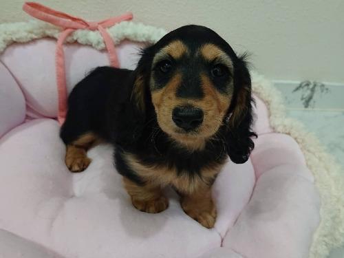 ミニチュアダックスフンド(ロング)の子犬(ID:1276311004)の1枚目の写真/更新日:2019-11-10