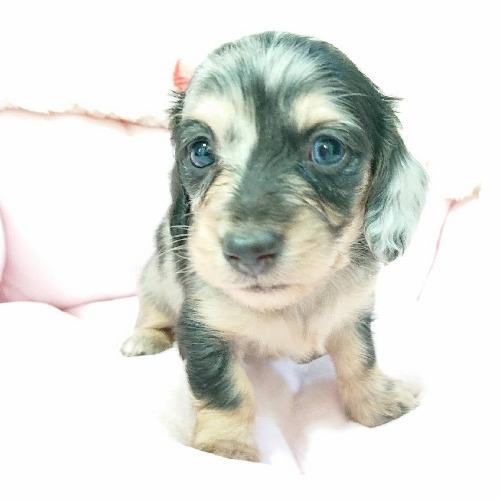 ミニチュアダックスフンド(ロング)の子犬(ID:1276311007)の1枚目の写真/更新日:2019-10-05
