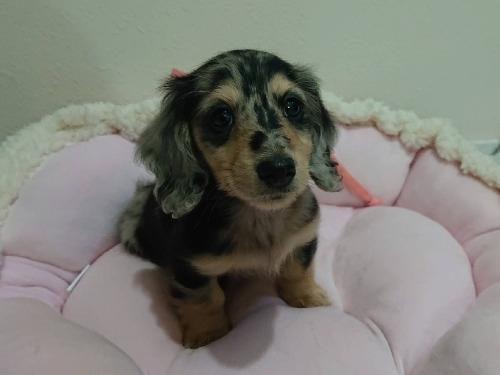 ミニチュアダックスフンド(ロング)の子犬(ID:1276311008)の1枚目の写真/更新日:2019-10-05