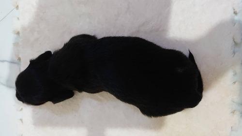 ミニチュアダックスフンド(ロング)の子犬(ID:1276311009)の2枚目の写真/更新日:2019-10-05