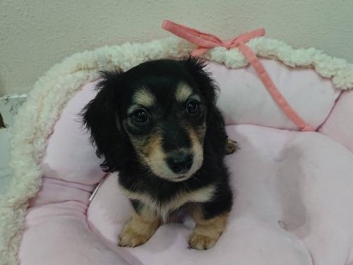 ミニチュアダックスフンド(ロング)の子犬(ID:1276311010)の1枚目の写真/更新日:2019-10-05